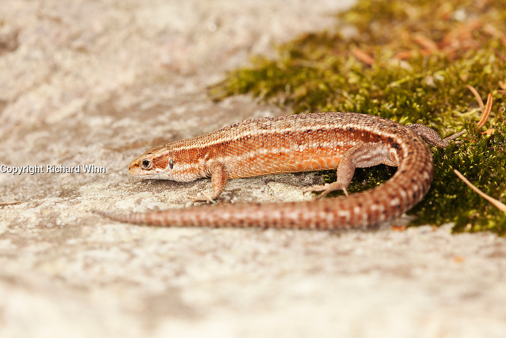 Female common lizard (Zootoca vivipara) on a rock half covered with moss.