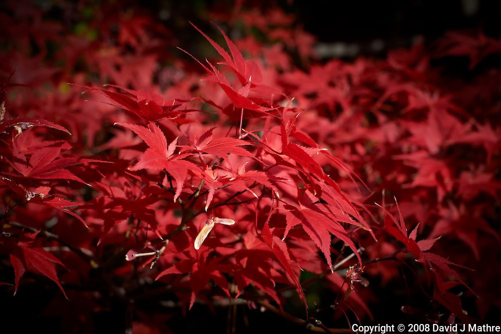 Fall Maple Leaves. Image taken with a Nikon D700 and 50 mm f/1.4 lens (ISO 200, 50 mm, f/5.6, 1/400 sec).