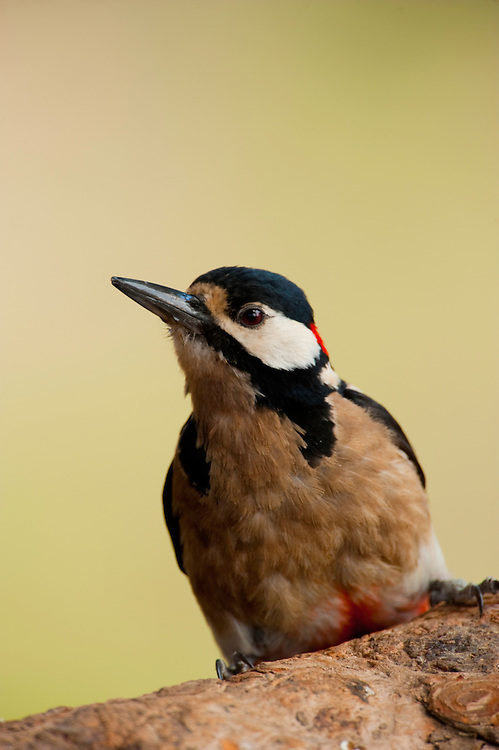 Canarian Great Spotted Woodpecker (Dendrocopos major canariensis) in Corona Forestal Natural Park, Tenerife Island, Canary Islands, Spain.