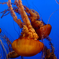 Sea Nettle -Jelly Fish