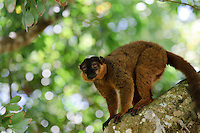 Brown lemur in a tree, Nahampoana Reserve, Fort Dauphin, Madagascar.
