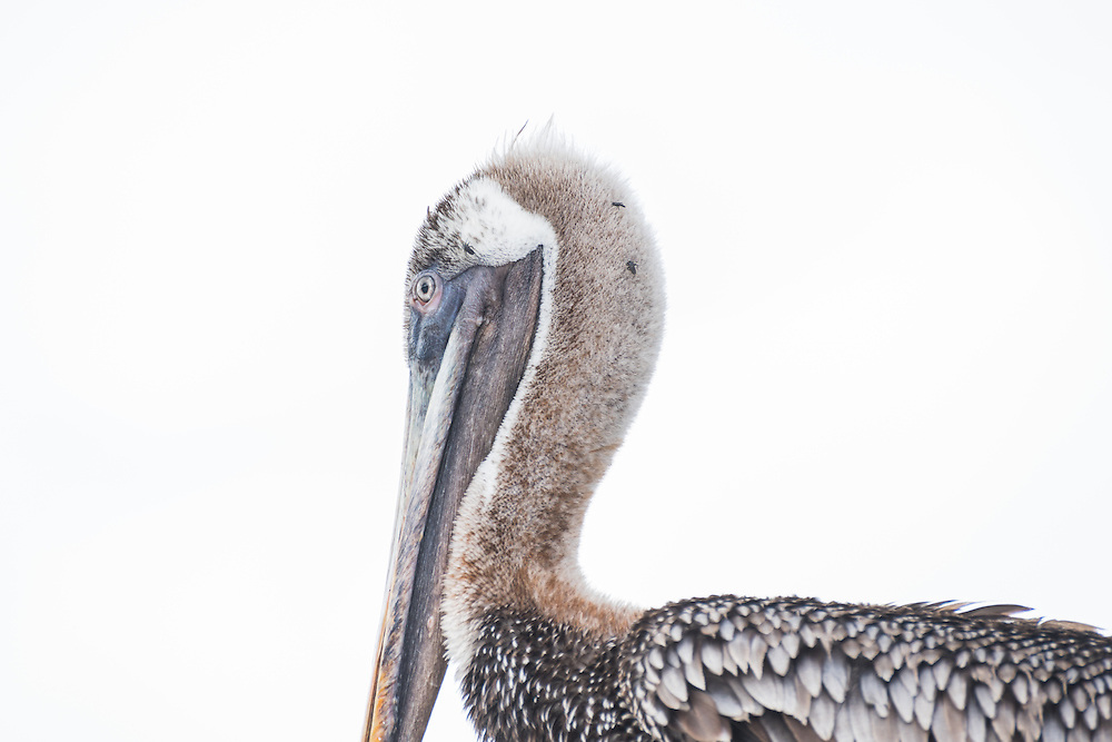 Pelican looks into the camera, Santa Cruz, Galapagos, Ecuador.