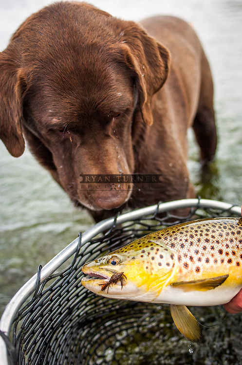 A chocolate lab looking a brown trout caught fly fishing in Montana.
