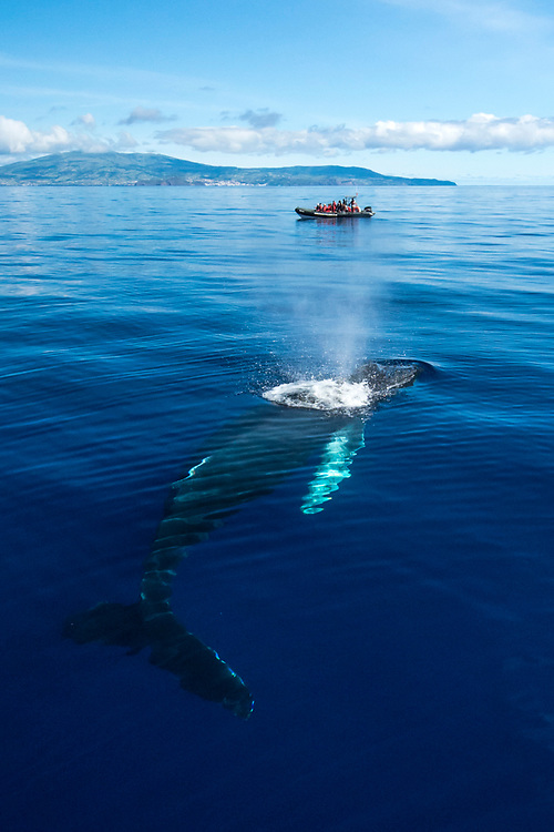 A Humpback Whale, Megaptera novaeangliae, surfaces to breath with a whale watching boat and Faial Island in the background, Azores autonomous region, Portugal, North Atlantic Ocean.