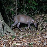 The Fea's Muntjac or Tenasserim muntjac (Muntiacus feae) is a rare species of muntjac native to China, Laos, Burma, Thailand and Vietnam. It is named after zoologist Leonardo Fea. Its other name comes from the Tenasserim Hills, between Burma and Thailand.<br />
