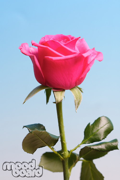 Close-up of pink rose on blue background