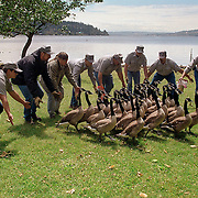 City workers gather overpopulated geese in Seattle, Washington.