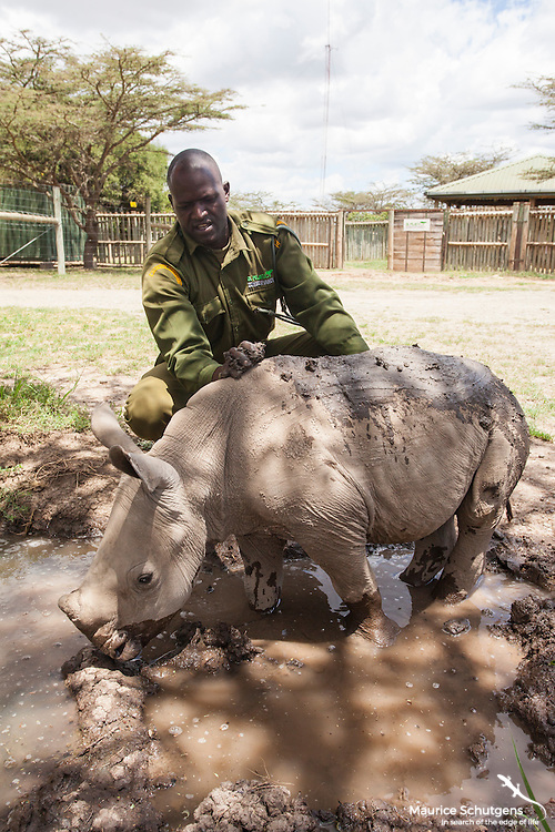Ringo, the southern white rhino at Ol Pejeta Conservancy, getting a scrub.