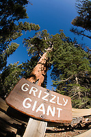 Grizzly Giant is a giant sequoia in Mariposa Grove, Yosemite National Park. The tree is 33 ft in diameter, making it the 25th largest giant sequoia living today.