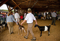 Goats being shown in the ring during the Sandwich Fair Saturday afternoon.  (Karen Bobotas/for the Laconia Daily Sun)