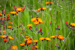 Orange Hawkweed, Fox and Cubs. Hieracium aurantiacum syn. Pilosella aurantiaca.