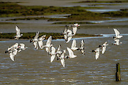 Flock of pigeons in flight at Invercargill Estuary, Southland, New Zealand