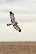 Hawk near Hillsdale, Wyoming, on Wednesday, Feb. 7, 2018