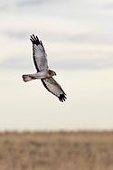 Hawk near Hillsdale, Wyoming, on Wednesday, Feb. 7, 2018