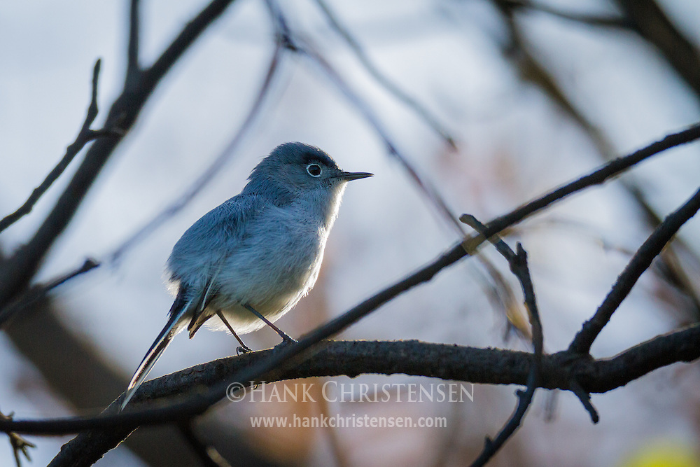 A blue-gray gnatcatcher perches on a narrow branch high is a tree