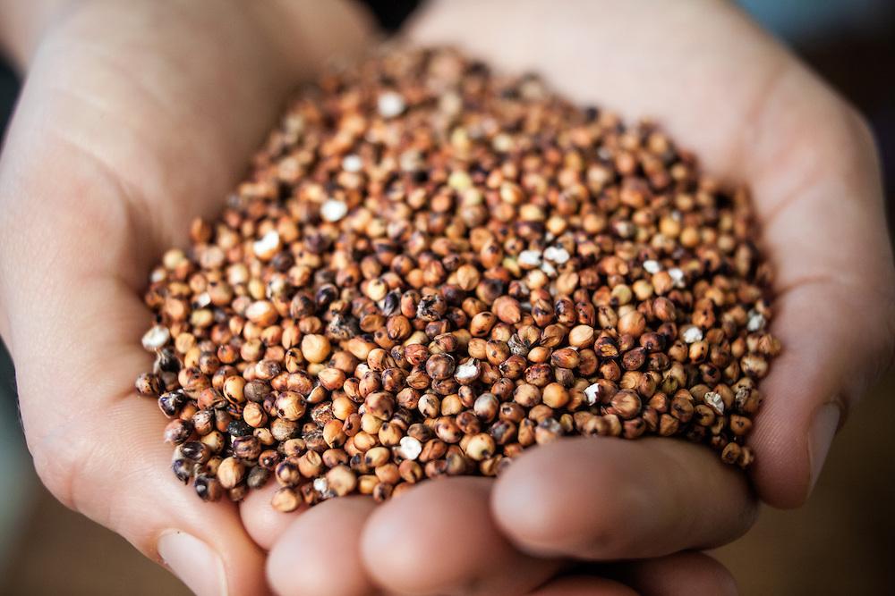 Hands holding millet grain.