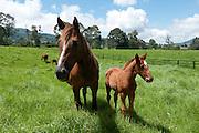 Race Horses in grassy pasture, Cerro Punta, Chiriqui province, Panama, Central America