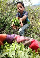 A young boy helps to pick coca leaves in El Rosario, Nariño, in southwestern Colombia, on July 15, 2008. Nariño is a one of Colombia's most troubled departments; with wide spread coca cultivation and the presence of illegal armed groups vying for control of the coca business. (Photo/Scott Dalton)
