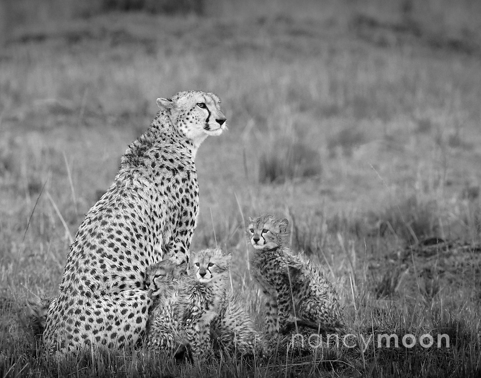 Cheetah mother photographed with three of her five cubs this particular afternoon in the Mara Triangle, Africa. It was beginnning to rain hard and their fluffy coat was getting soaked. <br />