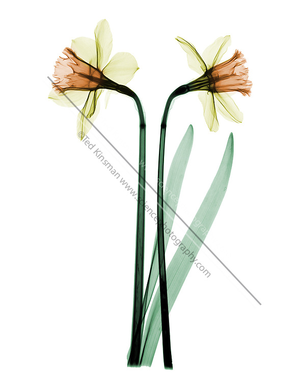 X-ray of two daffodils