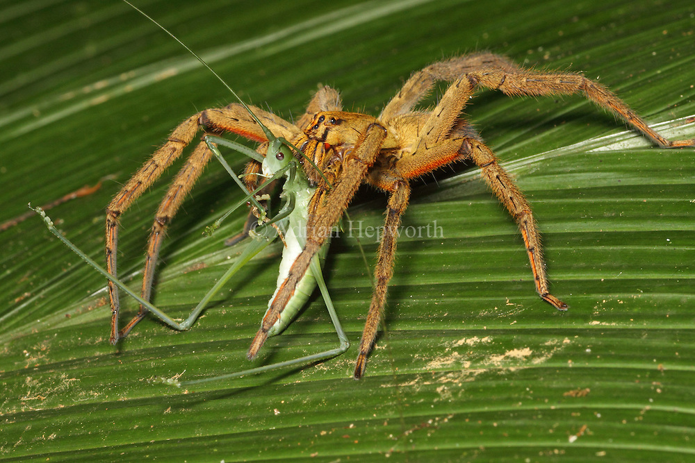 Wandering Spider (Cupiennius coccineus) feeding on katydid in rainforest, La Selva Biological Station, Costa Rica. <br /> <br /> For pricing click on ADD TO CART (above). We accept payments via PayPal.