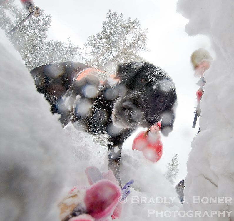 "Teton County K-9 Search & Rescue black lab Sophie digs out the photographer, serving as an avalanche ""victim,"" from a snow cave during training on Pine Creek Pass near Victor, Idaho. The dogs are trained to find human scents under several feet of snow."
