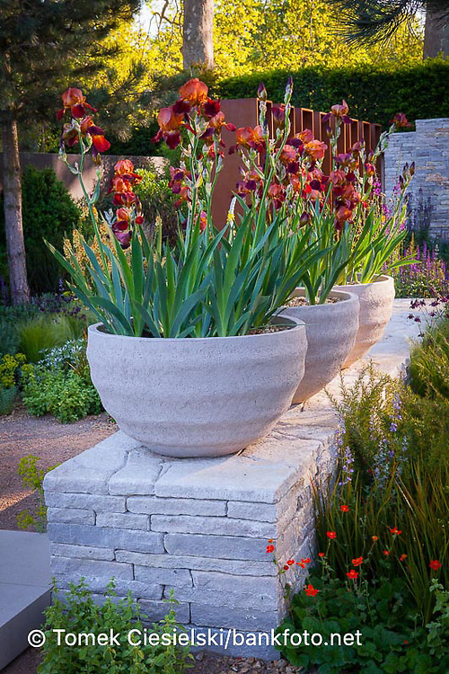 Iris 'Action Front' in stone containers