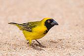 Weavers, Widowbirds  & Bishops