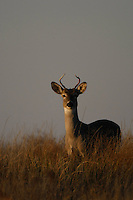 INFERIOR WHITETAIL BUCK
