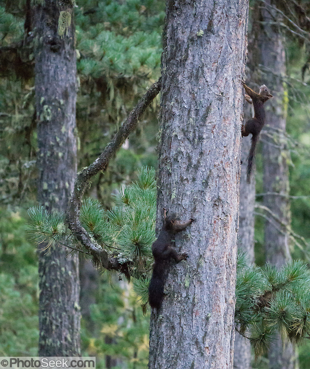 """Squirrels on tree. Roseg Valley, Engadine, Switzerland, Alps, Europe. Hike from Pontresina up Roseg Valley to Fuorcla Surlej for stunning views of Piz Bernina and Piz Rosegg, finishing at Corvatsch Mittelstation Murtel lift. Walking 14 km, we went up 1100 meters and down 150 m. Optionally shorten the hike to an easy 4 km via round trip lift. Pontresina is in Upper Engadine, in Graubünden (Grisons) canton of Switzerland. The Swiss valley of Engadine translates as the """"garden of the En (or Inn) River"""" (Engadin in German, Engiadina in Romansh, Engadina in Italian)."""