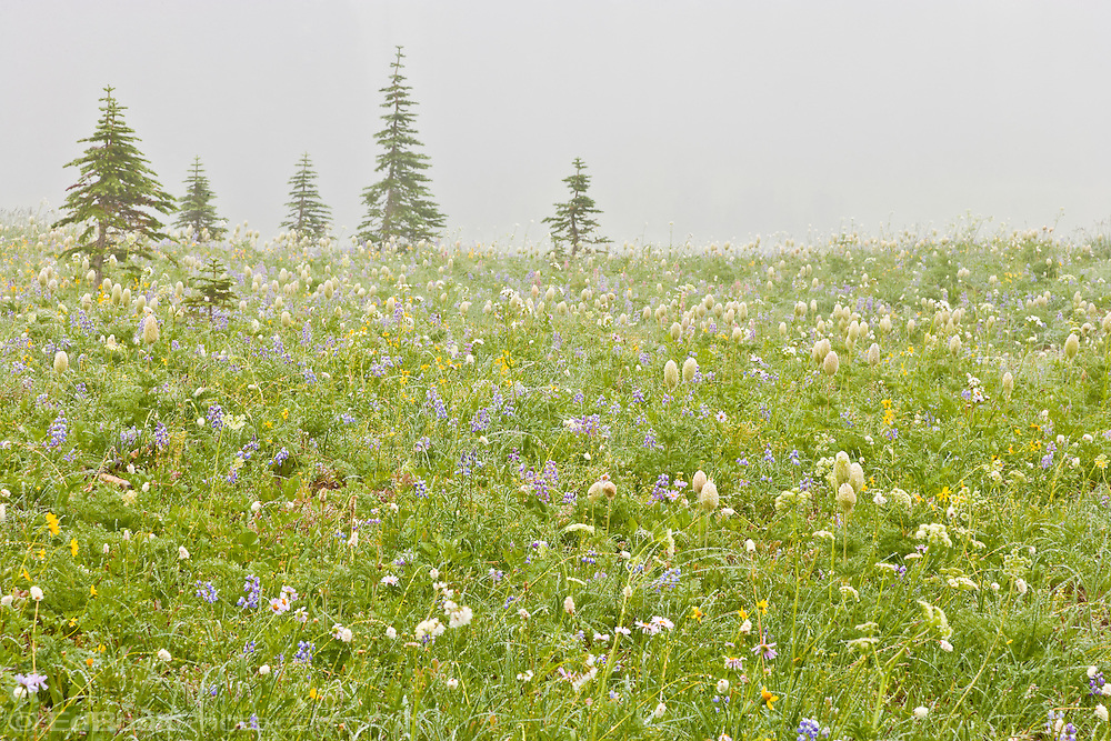 Wildflowers in bloom in a foggy alpine meadow at Chinook Pass, Mount Rainier National Park, in the Washington State Cascade Mountain Range.