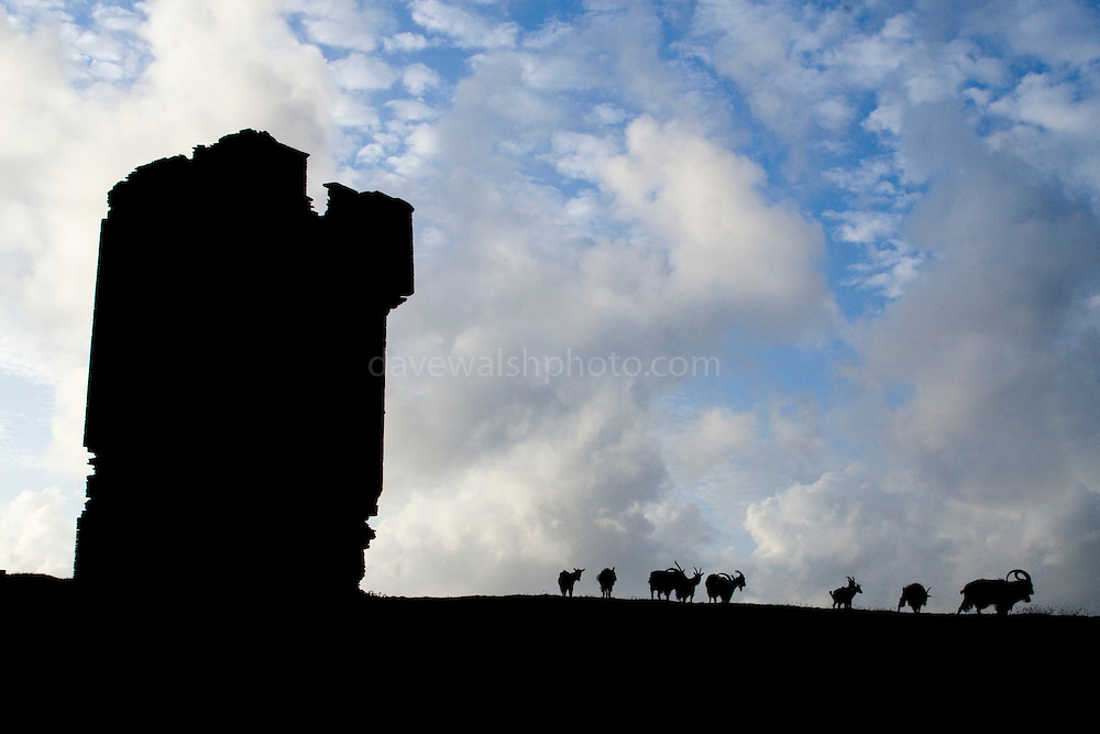 Wild goats at the Cliffs of Moher, Co. Clare. These goat herds became wild between medieval times and the early 20th century - the species are not native to Ireland. ..