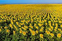 Sunflower fields, Grant (near the Colorado state line), near Goodland, Western Kansas USA.