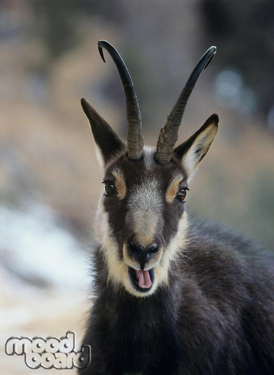 Chamois (rupicapra rupicapra) head and shoulders