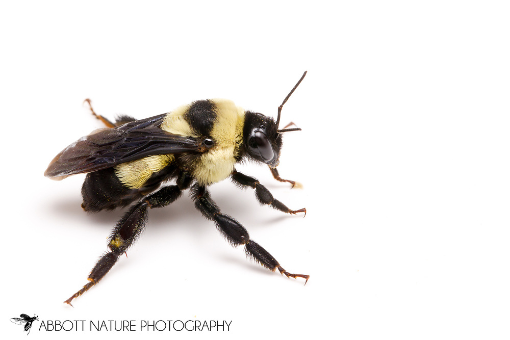 Southern Plains Bumble Bee (Bombus fraternus)<br /> TEXAS: Lamar Co.<br /> Camp Maxey National Guard<br /> Powderly  2.VIII.2014<br /> N33.78015 W95.53824 351 ft<br /> J.C. Abbott #2676 &amp; K.K. Abbott