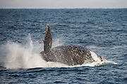 Humpback Whale (Megaptera novaeangliae)<br /> Sardine run,<br /> Eastern Cape<br /> SOUTH AFRICA