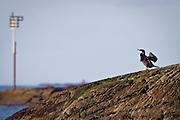 Skarv som soltørker på et skjær | Sundrying Cormorant on a rock.