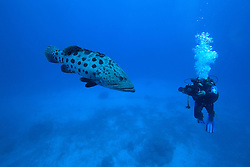 """Naturalist and photographer Richard Costin films """"Cuddles"""", a large Pototo Cod at the Rowley Shoals."""