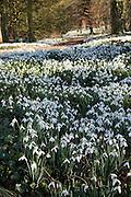 Snowdrops in Oxfordshire woodland, England, United Kingdom