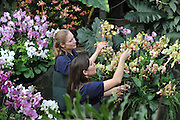 ©London News pictures. 03.02.2011. Tsuyeko Western (bottom) and Anne Rostek (top) add the final orchids to a display in the tropical glasshouse at Kew Gardens today (Thur). The launch of Kew Garden's Tropical Extravaganza. This theme celebrates the fact that 2011 has been designated the Year of the Forest by the UN. It is attempting to celebrate the rainforests' beauty as well as highlight the dangers that they are facing. The display includes varieties of Orchids, Anthuriums, Tillandsias and Aechmeas. Picture Credit should read Stephen Simpson/LNP