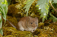 Bank Vole (Clethrionomys glareolus) adult on moss covered ground, South Norfolk, UK.  April.