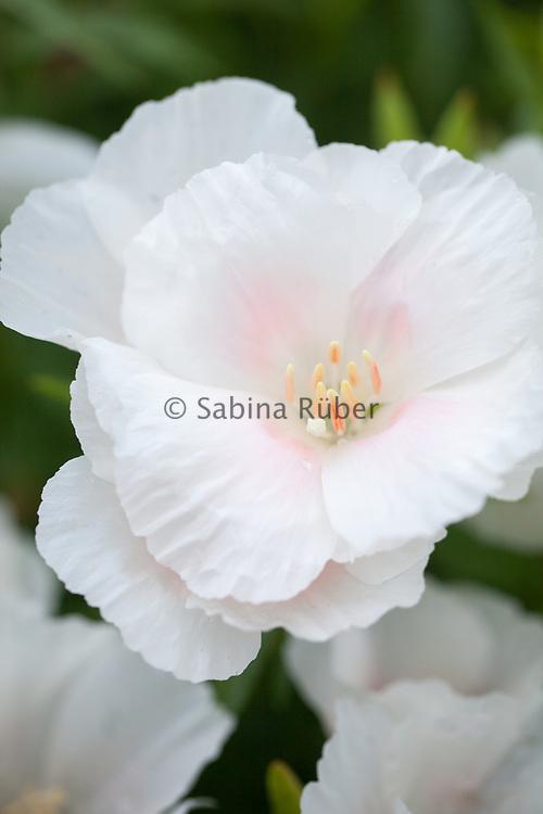 Godetia amoena 'Memoria' - farewell-to-Spring