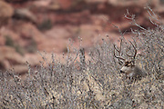 Trophy mule deer buck during the autumn rut