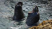Northern Elephant Seals (Mirounga angustirostris), Piedras Blancas Elephant Seal Rookery, San Simeon, California USA