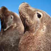 A pair of endangered Australian sea lions (Neophoca cinerea) sitting on the beach at Carnac Island in Western Australia. These two sea lions are males, as are all the individuals that visit this island. It is the only sea lion colony in the world that comprises only males.