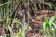 A wild, unrestrained Bobcat, Lynx rufus, rests in the shade of Green Cay Nature Preserve in suburban Delray Beach, Florida, United States.
