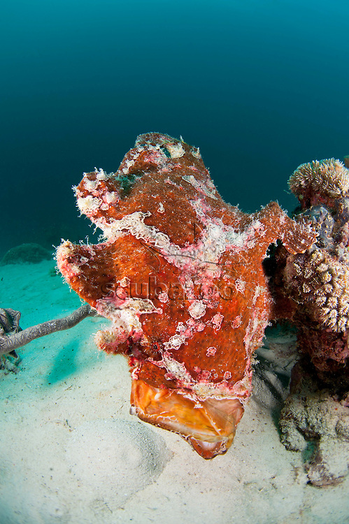 Giant frogfish, Antennarius commersoni, Yawn Sequence, Semporna Straits, Sabah, Malaysia, Borneo.