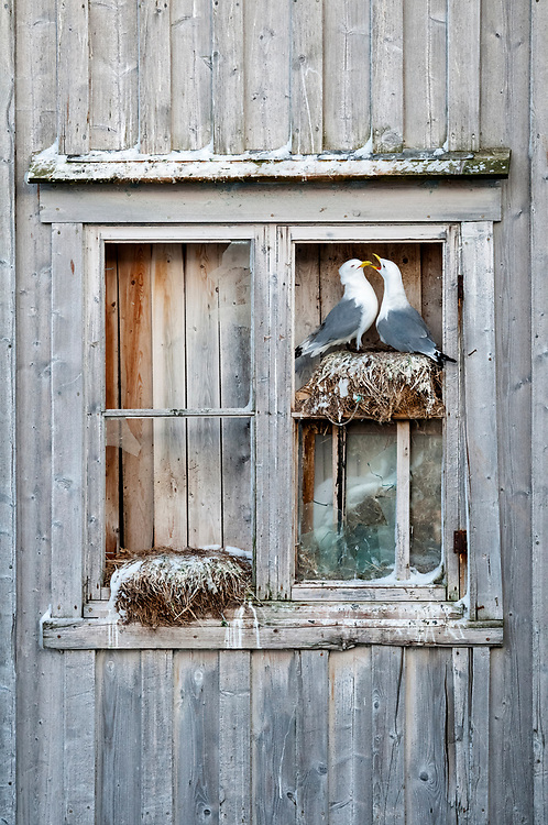 Black-legged Kittiwakes, Rissa tridactyla, nesting in warehouse window, Båtsfjord, Norway