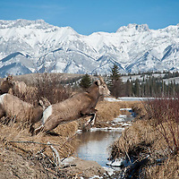 rocky mountian bighorn sheep, ewe jumps creek rocky mountains background wild rocky mountain big horn sheep