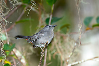 Arthur R. Marshall Loxahatchee National Wildlife Reserve, Wellington, Florida, USA. Gray catbird (Dumetella carolinensis)   Photo: Peter Llewellyn